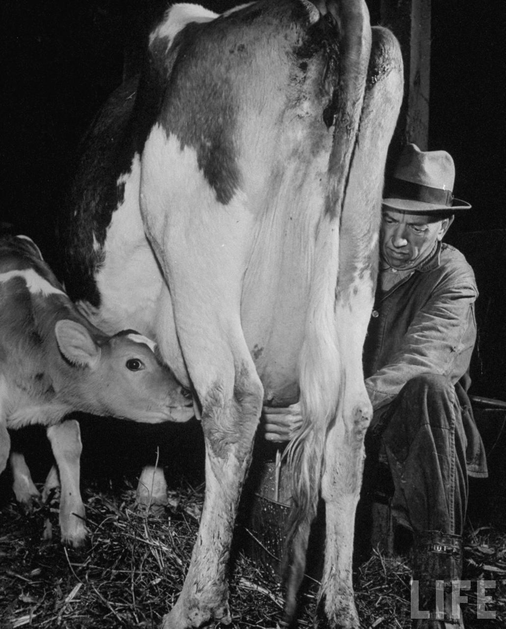Farmer milking cow.
